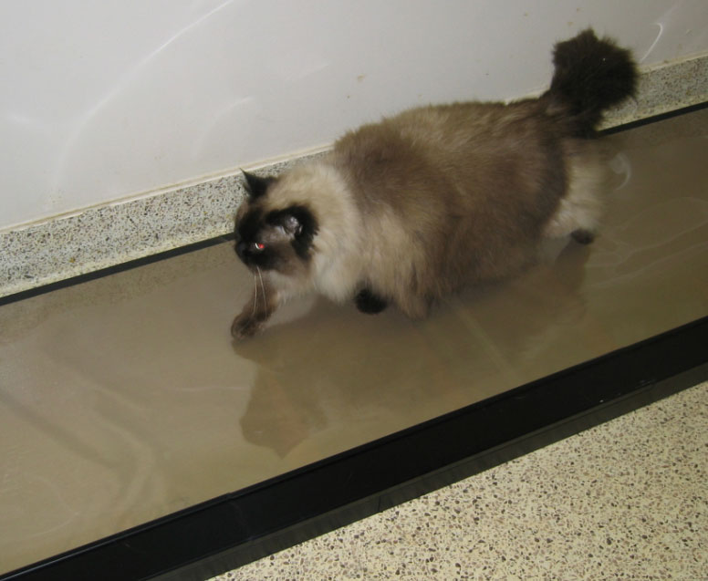 Cat on Walkway System