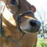 Treating chronic cow ailment