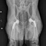Post Surgical Analysis of Canine Hip Replacement